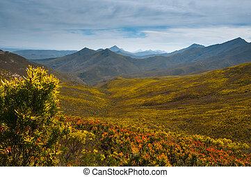 A mountain pass of proteas