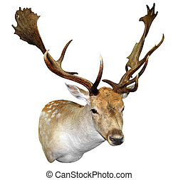 A Mounted Fallow Stag Head isolated with clipping path