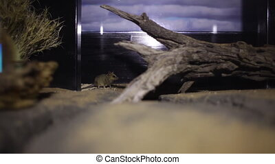 A mouse goes to a tree branch inside its cage - A wide shot...