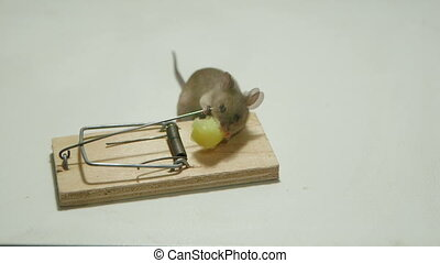 A mouse trap has free cheese - Lucky mouse eating cheese of...