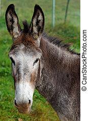mule - a mule portrait