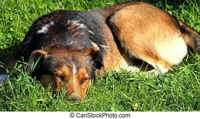 A multicolored dog sleeps on a green lawn on a sunny day in slo-mo