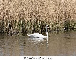 A Mute swan seen from from Headley Hide