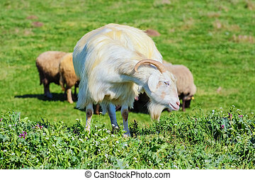 A Nanny Goat in the Green Pasture