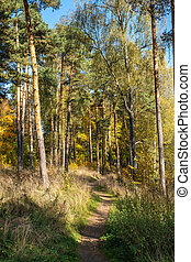 A narrow path in an autumn pine forest on a sunny day.