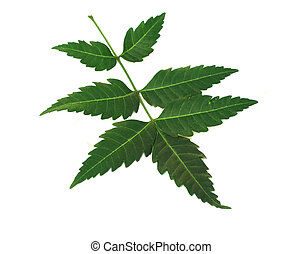 neem leaves - a neem leaves over white background.