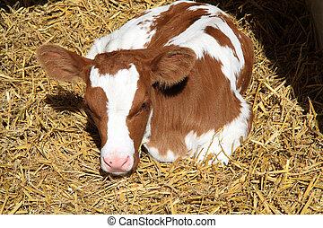A newborn calf