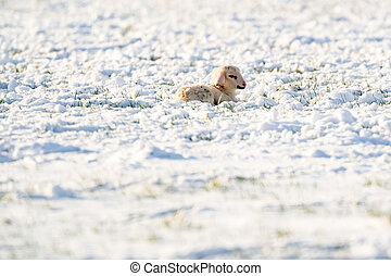 A newborn white lamb lies alone in the meadow, covered with snow. Winter on the farm