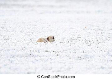 A newly born white lamb lies in the meadow, covered with snow. Winter on the farm
