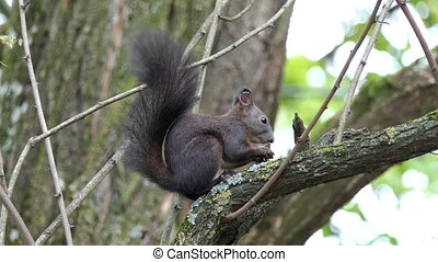 A nice squirrel eats some nut on a tree branch in slo-mo