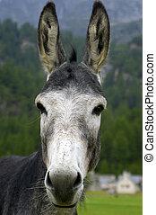 mule - a nice view of a mule