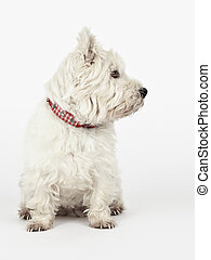 white Terrier - A nice white Terrier is looking to the right...