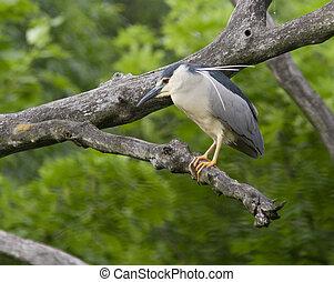 A night heron sitting on a dry tree.