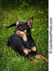 A noble little Prague Ratter lying in green grass and is well aware of its beauty.