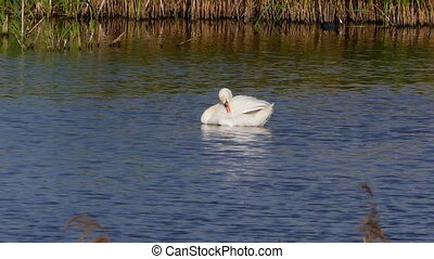 A noble white swan swims in a lake and cleans its feather. -...