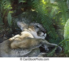 A North American Cougar (Puma concolor) Resting Under Shady ...