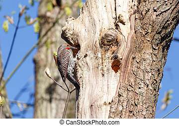 Northern Flicker, a woodpecker, at a cavity nest hole in the tree trunk.