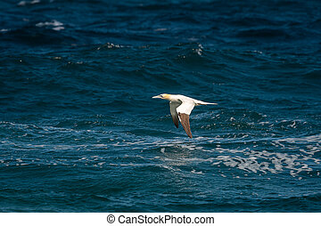A Northern Gannet in flight on a sunny day summer