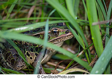 A northern leopard frog in the grass.
