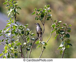 Northern Mockingbird in a Tree