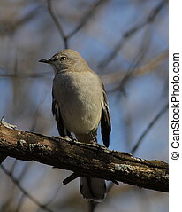 A Northern Mockingbird perched on a branch