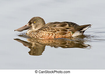 A Northern Shoveler in the water