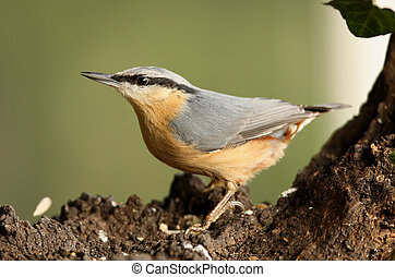 A Nuthatch looking for food on an old tree stump
