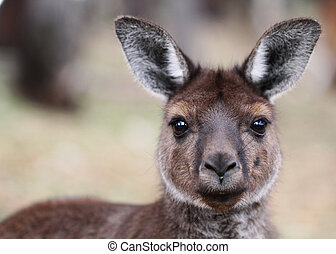 a, ocidental, cinzento, canguru
