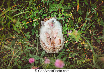 a one-eyed hedgehog lying in clover looking at you