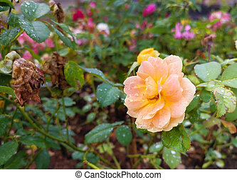 A orange Damask rose with water droplets on the flower petals.