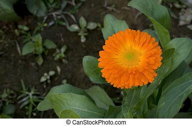 A orange pot marigold.