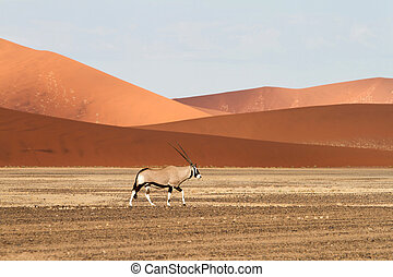 Sossusvlei park, Namibia - A orix in the sand dunes of...