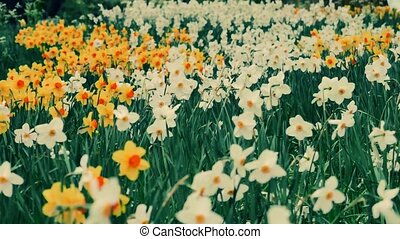 A Outdoor garden daffodils . The camera moves back on the...