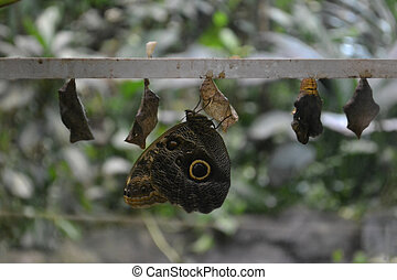 A Owl butterfly - Caligo eurilochus - is shown emerging from...