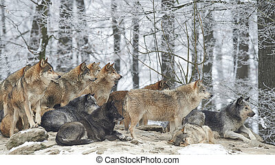 A Pack of wolves - a pack of wolves in snow