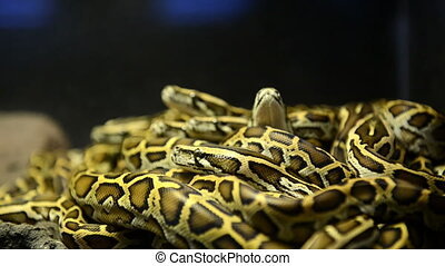 A pack of young snakes