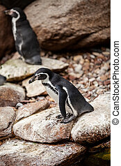 A pair of African penguins on the rocks.