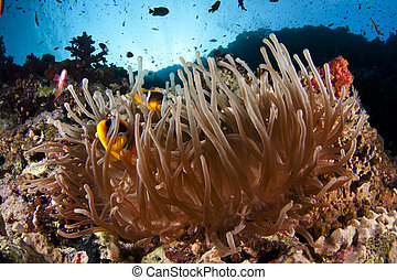 anemone fish - a pair of anemone fishes