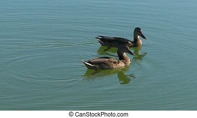 A pair of brown ducks swim in lake waters in slo-mo