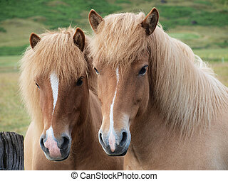 A pair of brown horses
