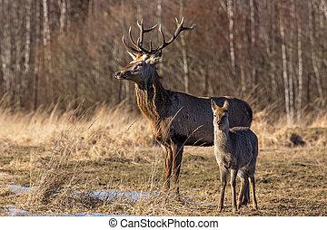 A pair of deer in the woods