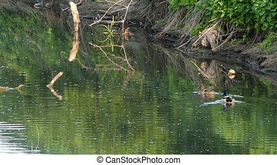A pair of ducks swim in a swampy lake waters in summer