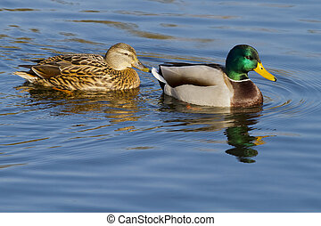 Ducks - a pair of Ducks swimming on the lake on a beautiful...
