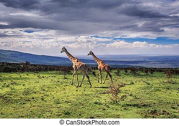 A pair of large Masai Giraffes cross the savanna. Serengeti...