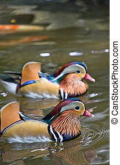 mandarin ducks - A pair of mandarin ducks swimming in the ...