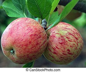 A Pair of New Zealand Apples