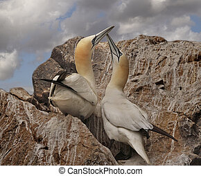 A Pair of Northern Gannets