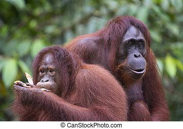 A pair of Orangutan, Indonesia