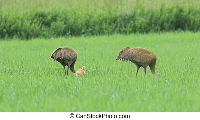 Pair of Sandhill Cranes, Grus canadensis, with chick - A...