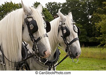 A Pair of Shire Horses - A pair of grey Clydesdale Shire...